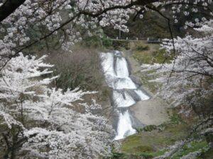 大沢 男女滝 桜