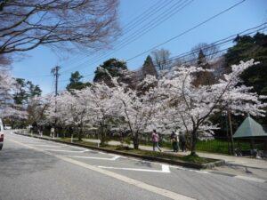 桜並木_JALAN_140413